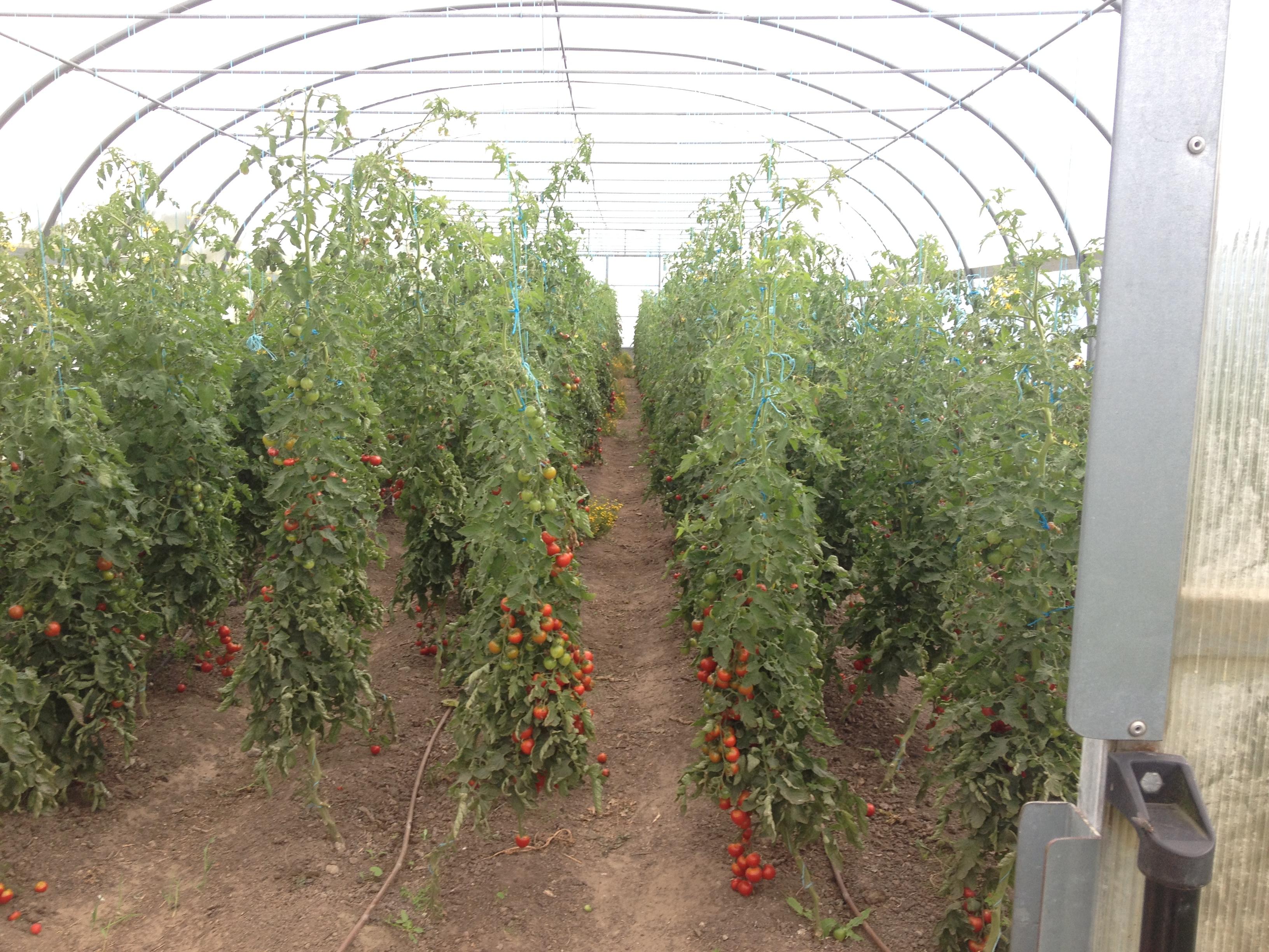 Die Tomaten in Kransdorf